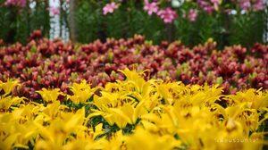 """ไปถ่ายรูปดอกลิลลี่บาน กับเทศกาล """"มหัศจรรย์ดอกไม้แห่งรัก""""ที่ เพ ลา เพลิน"""