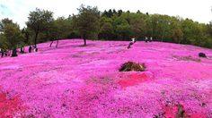ชมพูตระการตา!! เที่ยวทุ่ง พิงค์มอส (Shibazakura) ที่สวนทาคิโนะอุเอะ (Takinoue Park ) ฮอกไกโด