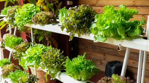 วิธีปลูกผักสลัด ปลูกผักไฮโดรโปนิกส์ ง่ายๆ ด้วยตัวเอง มีพื้นที่น้อยก็ปลูกได้