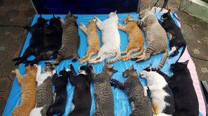 ประกาศหาคนรับเลี้ยง! แมวจรจัดสวนลุม หลังจัดระเบียบ ทำหมันแล้ว
