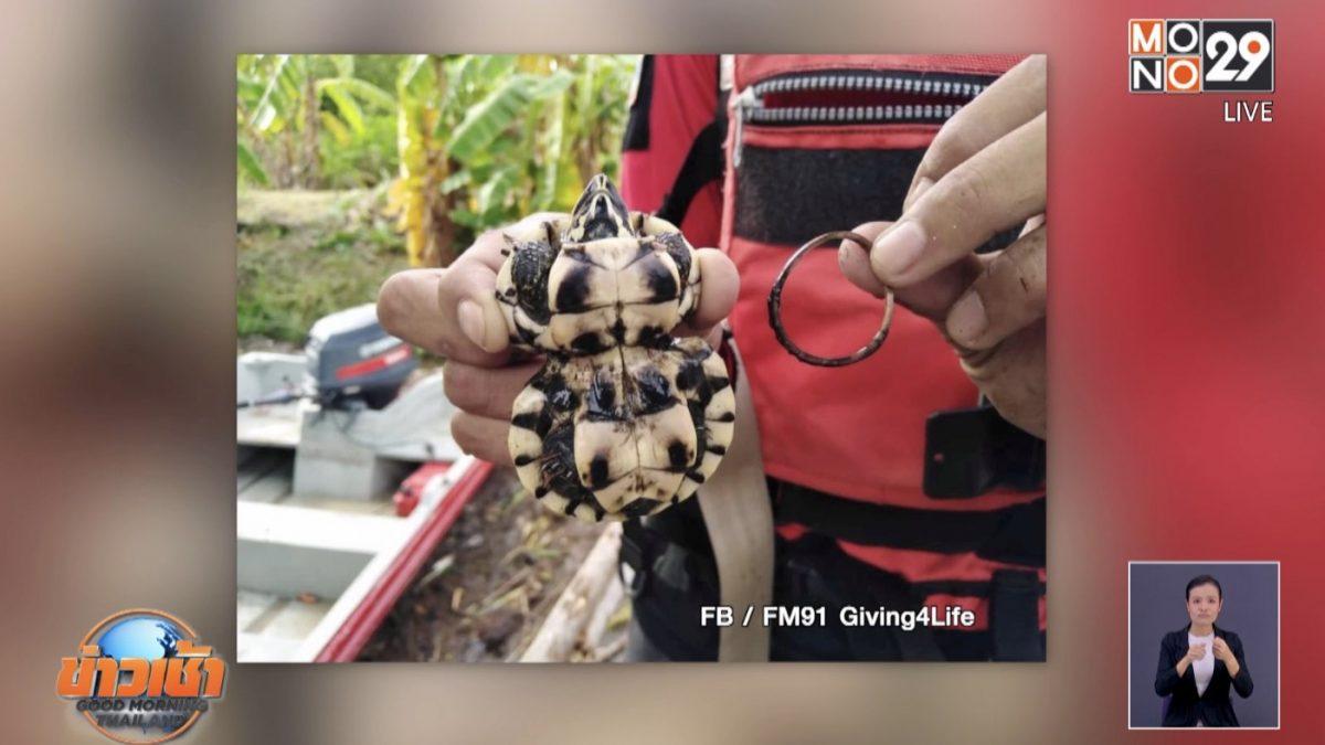 สุดสงสาร เต่าถูกหนังยางรัดกระดองจนเบี้ยวผิดรูป