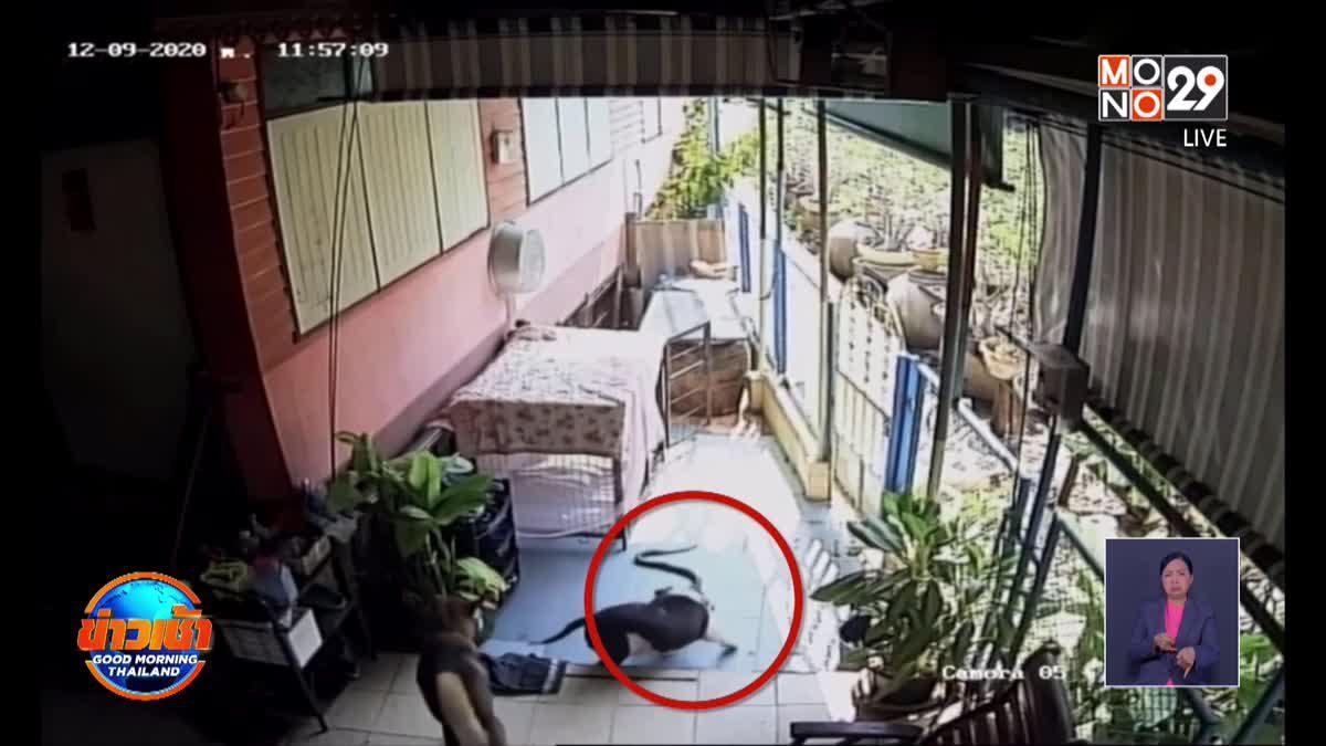 สุดเศร้า! 'เจ้าซูโม่'สุนัขพิทบูลฮีโร่ พลาดท่าถูกงูเห่ากัดดับ