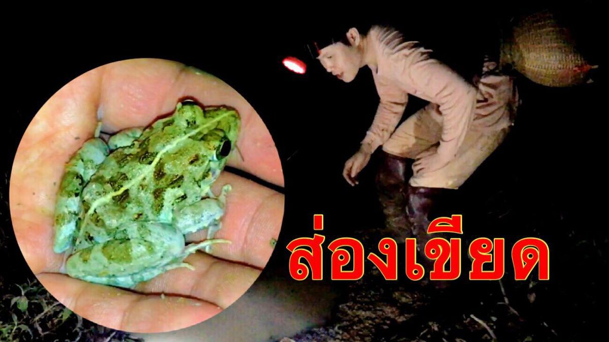 ใช้ชีวิตในป่ากับสราวุฒิ : ส่องกบ ส่องเขียด (Find frogs for cooking / 找青蛙做饭)