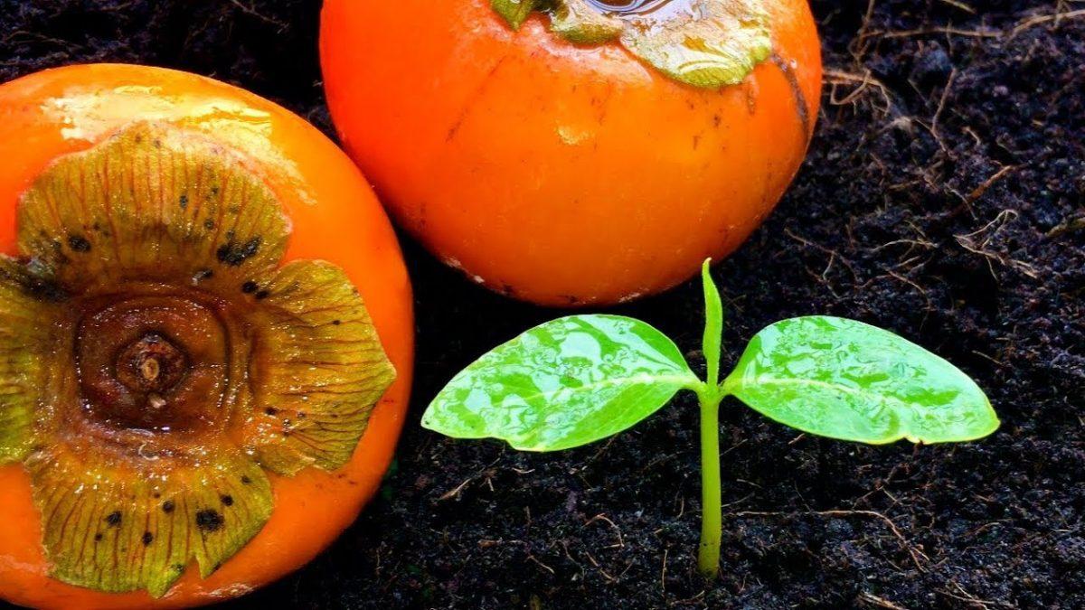 วิธีปลูกต้นพลับ(ลูกพลับ)จากเมล็ด / How to grow Persimmon from seed