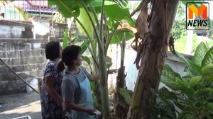 ฮือฮา! กล้วยน้ำหว้าออกปลีที่ปลายต้น เจ้าของตัดตายแล้วกว่า 5 เดือน เชื่อให้โชคลาภ