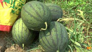 เกษตรกรปลูก 'แตงโม' สร้างรายได้ปีละ 3 แสน บนเนื้อที่ 13 ไร่