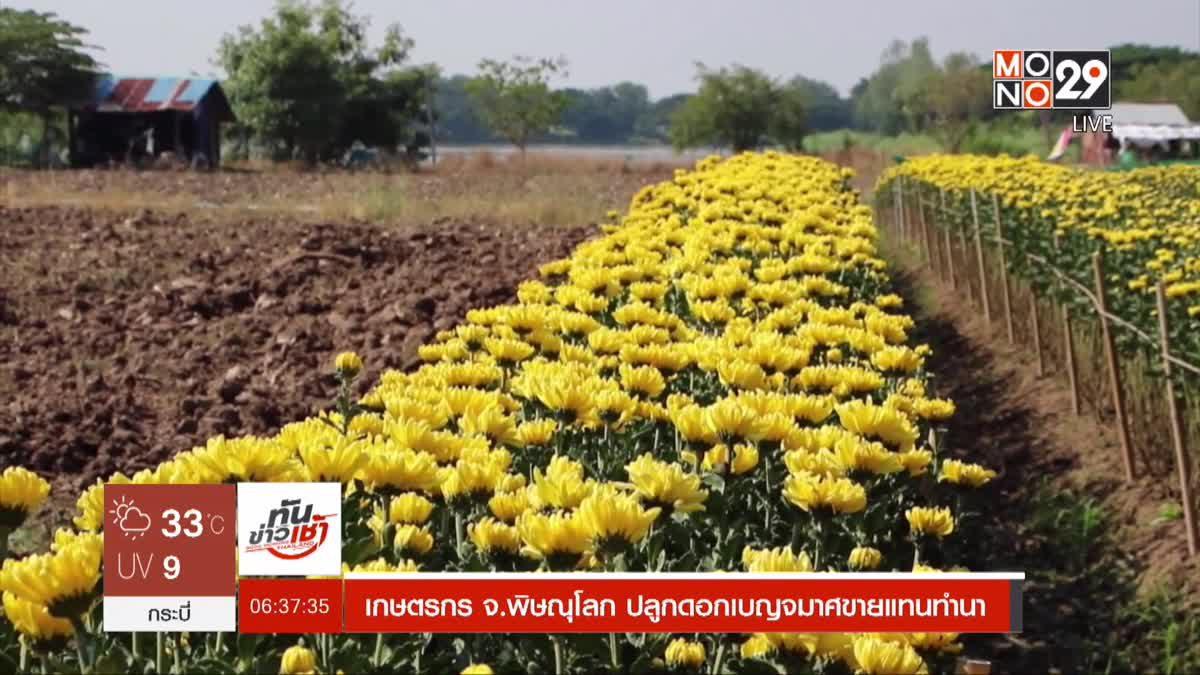 เกษตรกร จ.พิษณุโลก ปลูกดอกเบญจมาศขายแทนทำนา