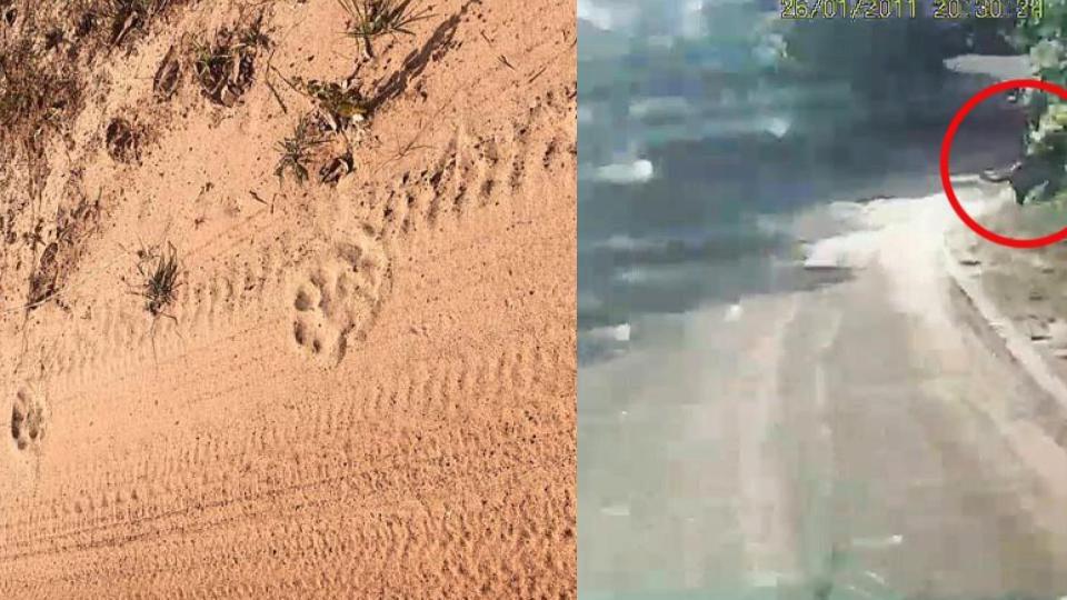 เสือโคร่ง โผล่อุทยานแห่งชาติปางสีดา