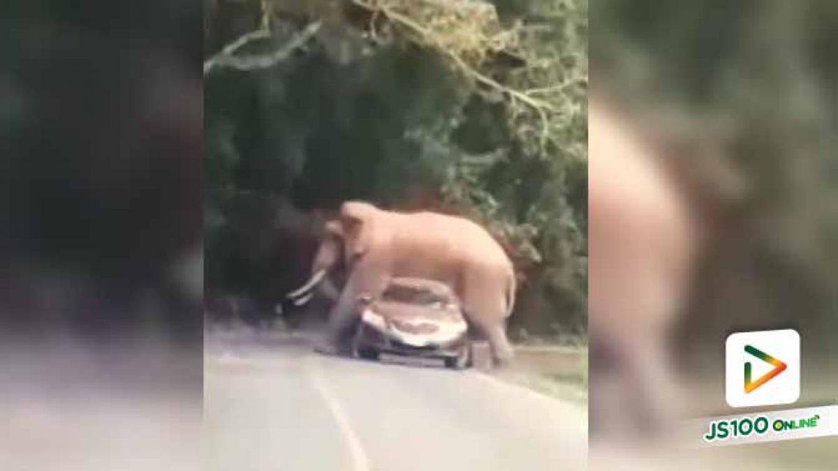 """ขอไปด้วยนะ """"พี่ดื้อ"""" ช้างป่าเขาใหญ่ คร่อมทับรถเก่งนักท่องเที่ยว จนหลังคาหลังยุบ (29/10/62)"""