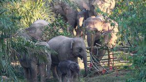 กดไลค์เจ้าหน้าที่ หลังช่วยชีวิตลูกช้างตกเขา เข้ากลับโขลงสำเร็จ