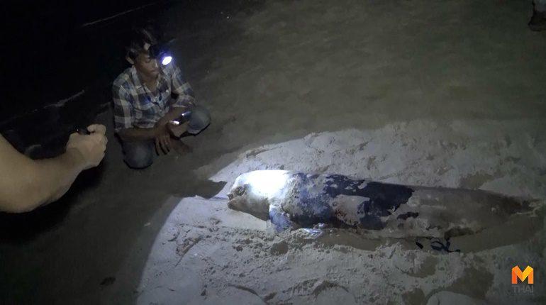 พบซากโลมา บริเวณชายหาดชลาทัศน์ แหลมสมิหลาใกล้วงเวียนคนอ่านหนังสือ