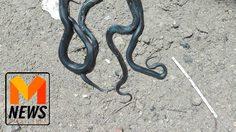 สาวผวา! งูเห่าโผล่โถสวม 7 ตัว เร่งขุด หลังพบคราบงูตัวใหญ่