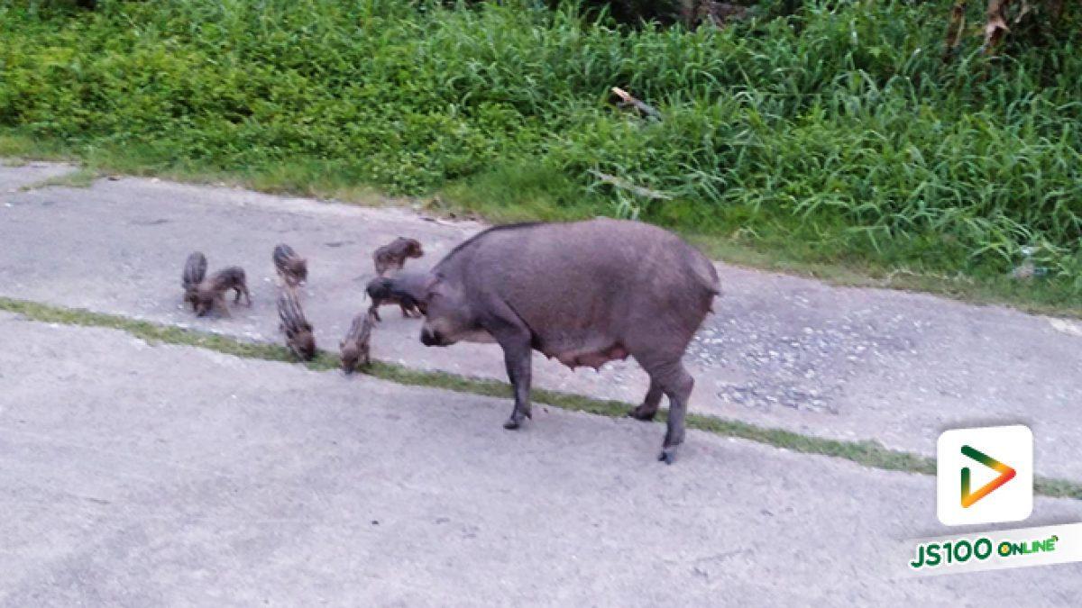 แม่หมูกับลูกๆ ทั้งเจ็ด ออกมาเดินหาอาหารและเดินเล่นอยู่ข้างทาง (15-07-62)