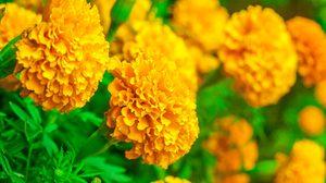 วิธี ปลูกต้นดาวเรือง ดอกไม้มงคล เสริมมงคล ชีวิตรุ่งเรือง