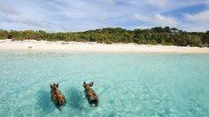 บาฮามาส(Major Cay) เกาะกลางทะเลที่มีแต่หมู…