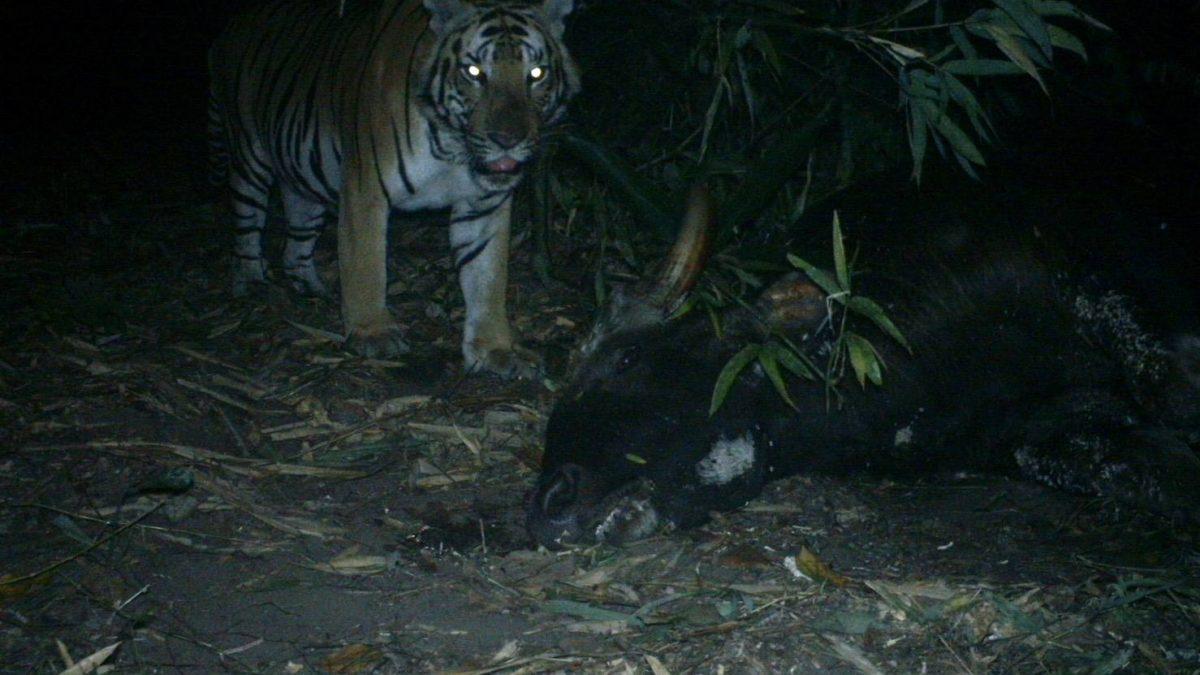 นาทีเสือโคร่งห้วยขาแข้ง บุกล่ากระทิงป่าที่แม่วงก์