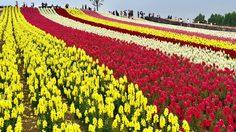 รีวิว เที่ยวญี่ปุ่นหน้าร้อน ที่ สวนดอกไม้ชิกิไซโนะโอกะ ขึ้นชื่อว่าเป็นสวนดอกไม้ ที่ไล่สีได้สวยงามที่สุด!