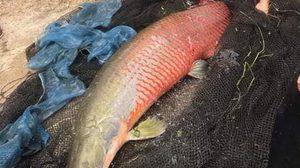 เจอแล้ว ปลาช่อนอเมซอน หนองกระทิง ลำปาง หลังตามหามากว่า 8 เดือน