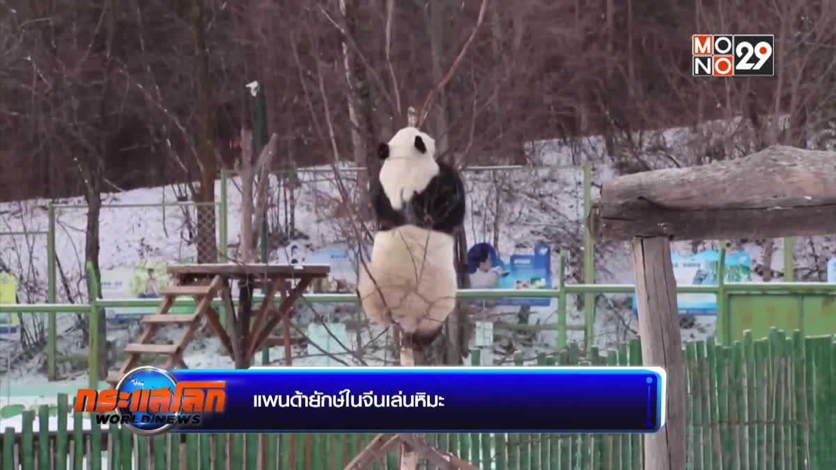 แพนด้ายักษ์ในจีนเล่นหิมะ