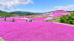 ดอกชิบะซากุระ เบ่งบาน ปูพรมสีชมพูยักษ์ทั่วภูเขา Chausu ประเทศญี่ปุ่น
