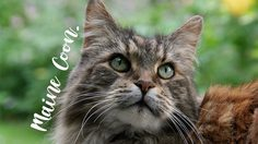9 เรื่องน่ารู้เกี่ยวกับแมวสายพันธุ์ เมนคูน