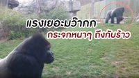ไม่ตกใจยังไงไหว! นาที กอลิล่า วิ่งพุ่งใส่เด็กจนกระจกสวนสัตว์ถึงกับร้าว