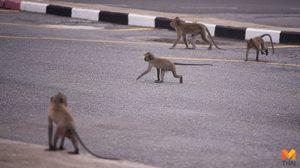 ฝูงลิงเขาแหลมปู่เจ้า รอคอยอาหาร หลังปิดแหล่งท่องเที่ยว