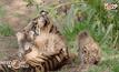ลูกเสือโคร่งสุมาตราในสวนสัตว์ซานดิเอโก