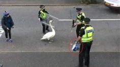 ตำรวจสกอตแลนด์พร้อมอาวุธครบมือ ช่วยกันไล่ต้อน หงส์ เพื่อพามัน… กลับบ้าน!!