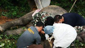 กรมอุทยาน ผ่าชันสูตรช้างป่าบถูกรถบรรทุก 18 ล้อชนจนตาย