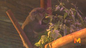 สวนสัตว์เชียงใหม่ต้อนรับสองโคอาล่ากลับบ้าน หลังเขาดินปิดตัว