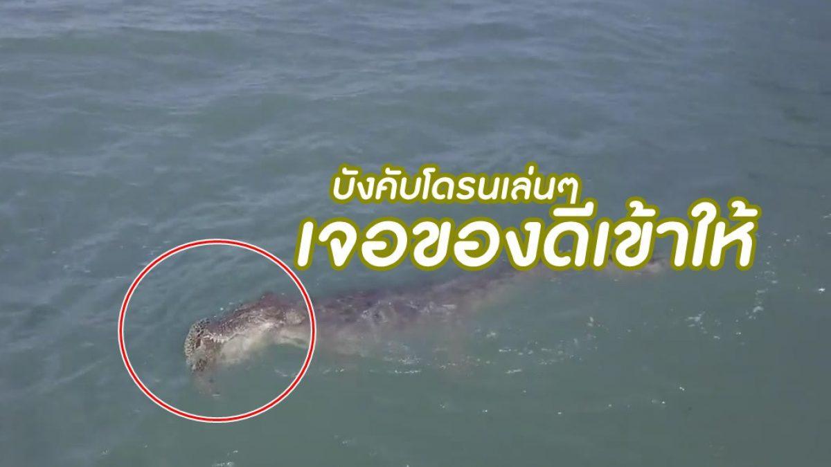 อยู่ในกระดองก็ไม่รอด! นาที โดรนจับภาพ จระเข้ กินเต่า กลางทะเล