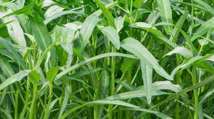 วิธีปลูกผักบุ้งจีน รายได้ดีงาม สามารถปลูกเองได้