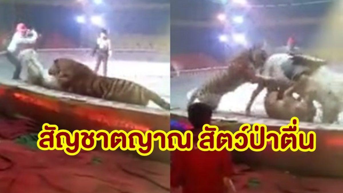 สัญชาตญาณตื่น! เสือพุ่งขย้ำม้า ขณะแสดงละครสัตว์ ไม่สนใจครูฝึก