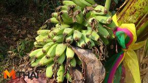 ใกล้หวยออก! ชาวบ้านแห่ขอเลขเด็ด หลังพบกล้วยประหลาด