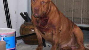 เพจดังเผย วิธีการเอาตัวรอด เมื่อถูกสุนัขพิทบูลทำร้าย