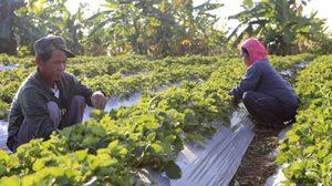ชาวบ้านรักไทย จ.พิษณุโลก เปลี่ยนสวนยางเป็นไร่สตรอว์เบอร์รี สร้างรายได้ดี