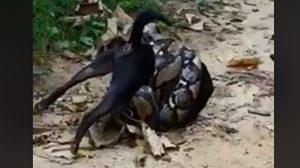 นาทีชีวิต!! งูเหลือมยักษ์รัดเจ้าตูบหวังเขมือบ สุดท้ายรอดตาย