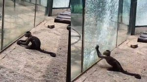 ชัดๆ ลิงถือก้อนหิน ทุบกระจกกรงจนแตกร้าว