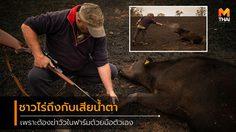 ชาวไร่ออสซี่หลั่งน้ำตา หลังจากต้องฆ่า วัว 20 ตัว ที่บาดเจ็บสาหัสจากไฟป่า