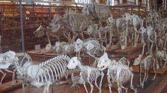 ขบวนพาเหรดกระดูก พิพิธภัณฑ์ซากดึกดำบรรพ์ที่ฝรั่งเศส