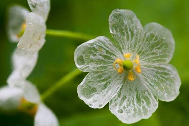 ดอกซังคะโย เมื่อถูกน้ำฝน จะเปลี่ยนจากสีขาวเป็นดอกโปร่งใส
