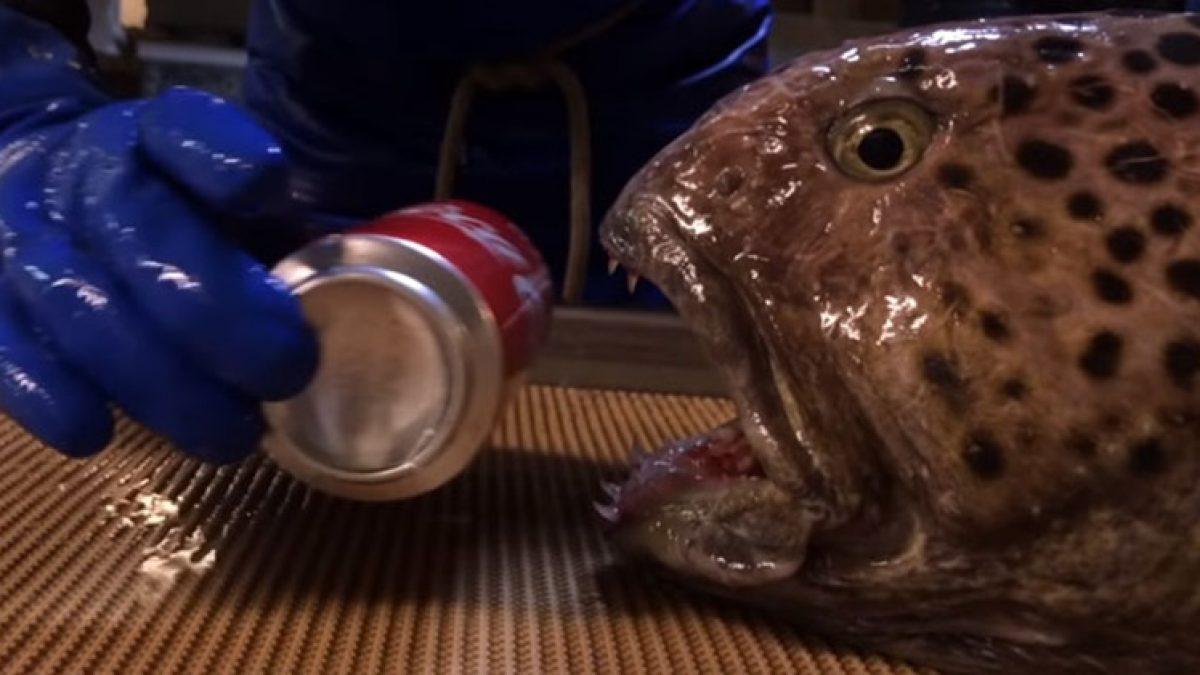 แรงกัดไม่ธรรมดา! เมื่อ ปลา Wolf Eel ที่น่าเกลียดที่สุด  Vs กระป๋องน้ำอัดลม แม้เหลือแต่หัวก็ประมาทไม่ได้