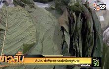 ป.ป.ส.ย้ำ พืชกระท่อมยังผิดกฎหมาย