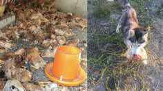 สุนัขพันธุ์ ไซบีเรียนฮัสกี้ บุกเข้าไปสังหารหมู่ไก่คาเล้า…ตายไป 600 ตัว ในคืนเดียว!!
