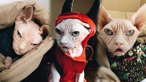 เจ้าแมว loki แมวหน้าย่น พันธุ์สฟิงซ์ ที่หน้าตาเครียดตลอดเวลา