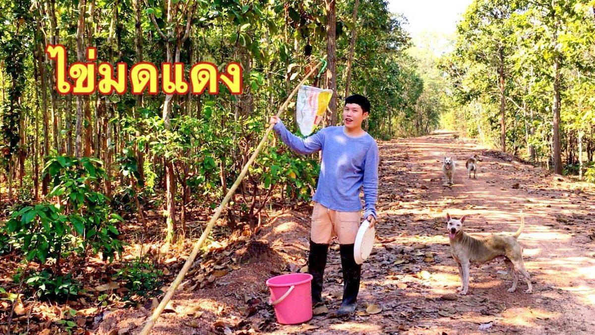 ใช้ชีวิตในป่ากับสราวุฒิ : สอยไข่มดแดง (แหย่ไข่มดแดง / Tree Ant Eggs Hunting / 从蚂蚁蛋烹饪)