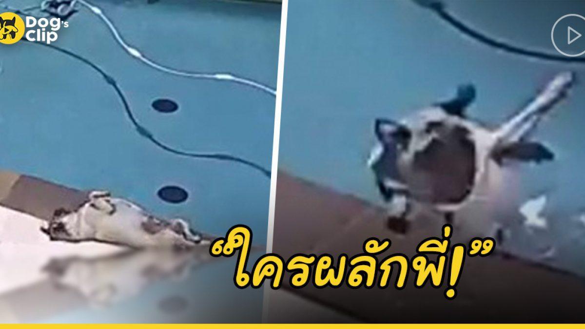 น้องหมาปั๊กตัวอ้วนนอนเพลินบิดขี้เกียจ พลาด! กลิ้งตกสระว่ายน้ำ