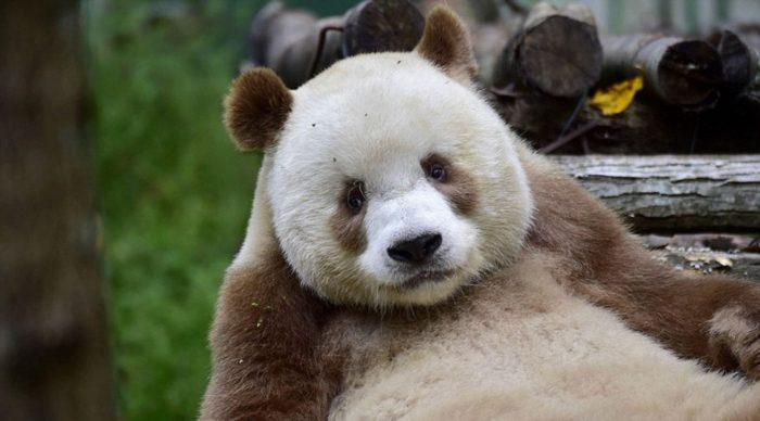 Only Brown Panda (10)