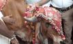 งานแต่งงานวัวในอินเดีย